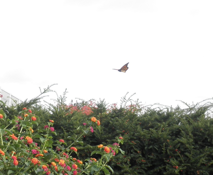 A migrating monarch in Michigan preparing to land on a nectar plant.  Photo taken by me, September 2011.